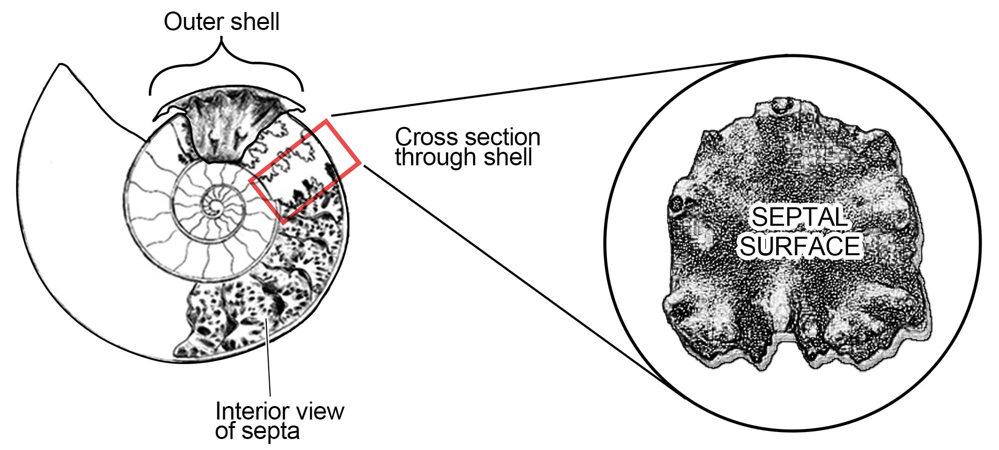 Drawings showing the parts of ammonoids.