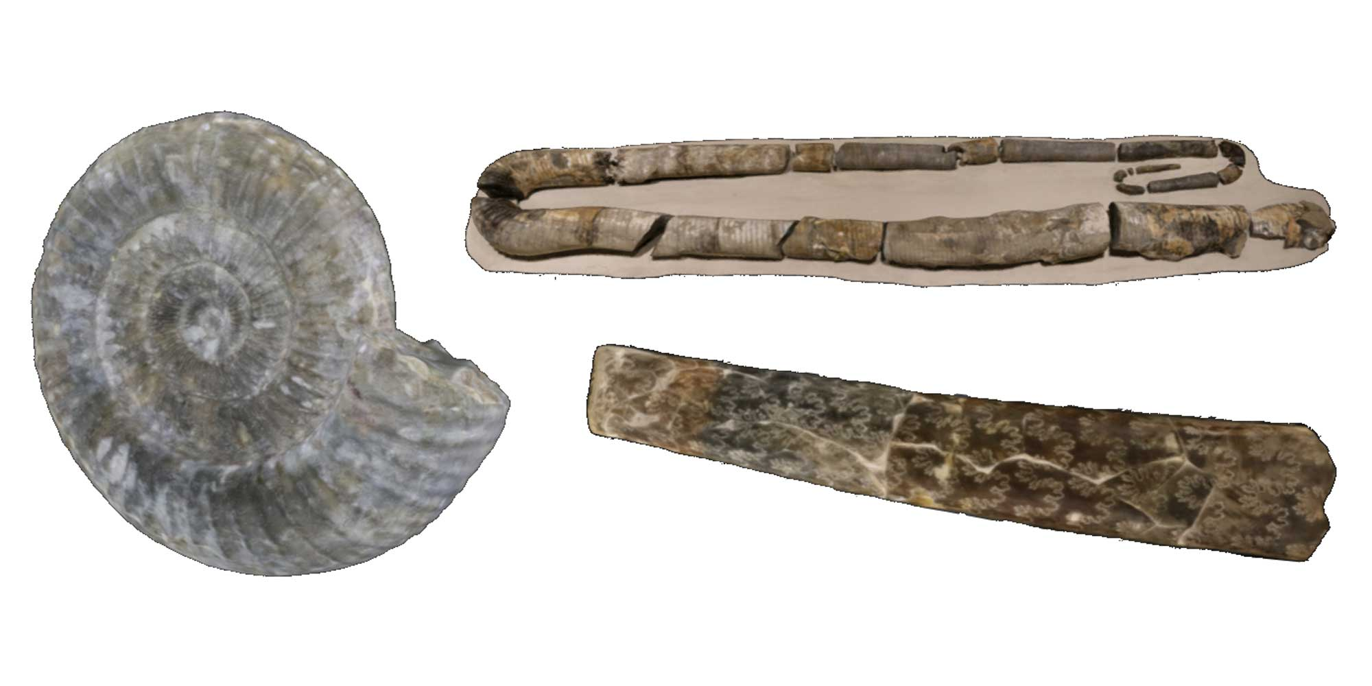 Images of ammonite fossils.