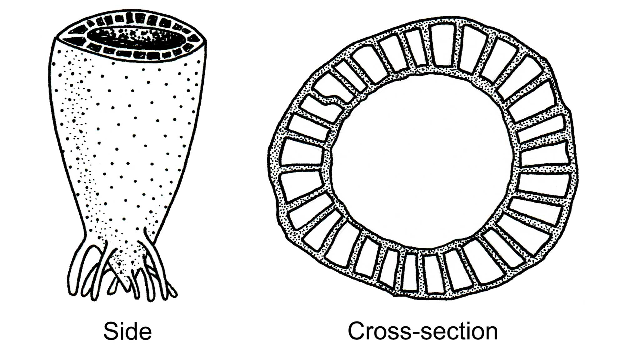 Drawings of archaeocyathans.
