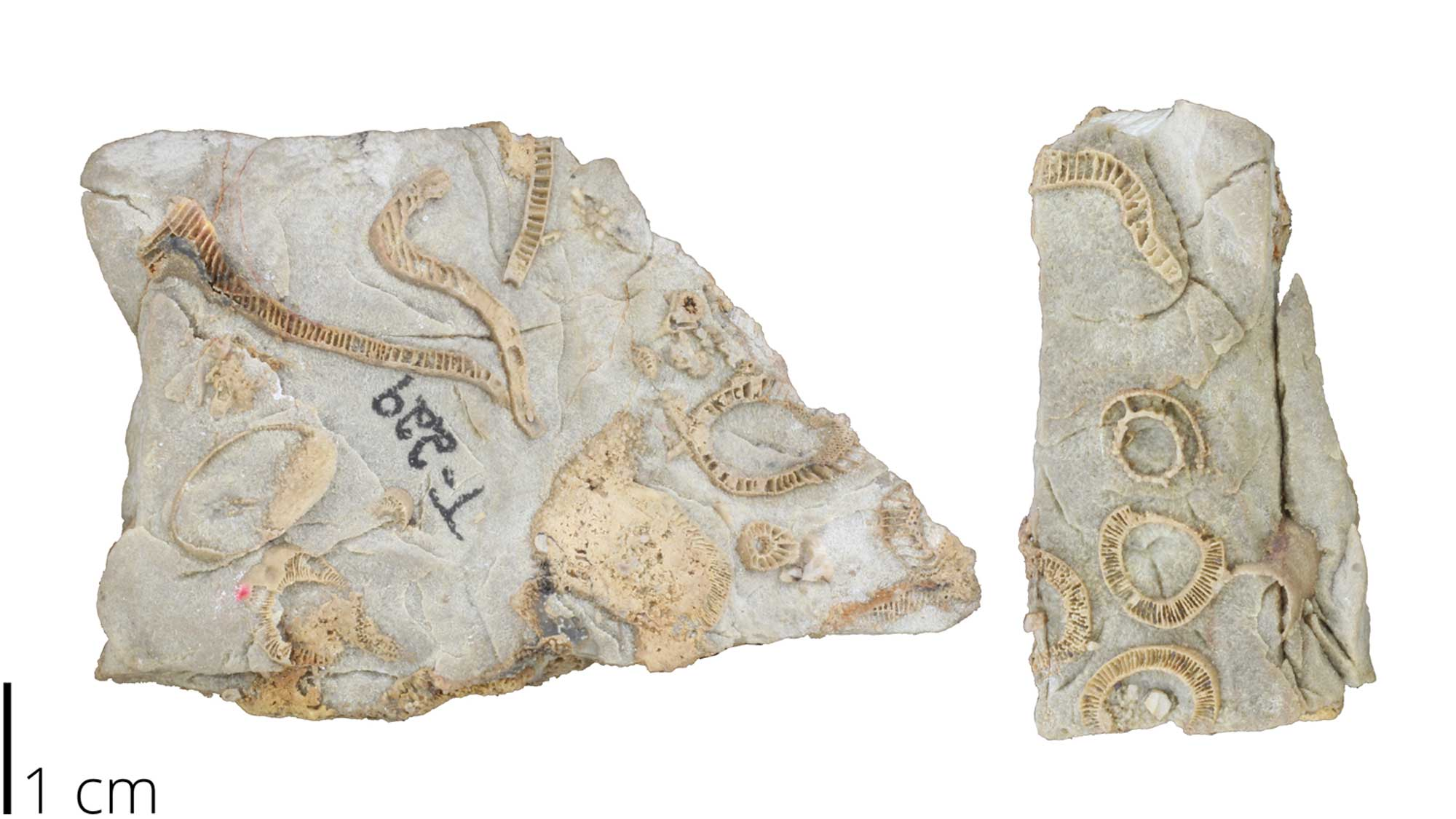 Photograph of archaeocyathan fossils.
