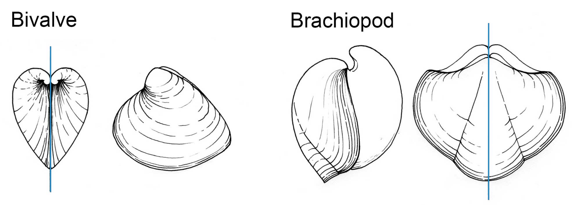 Drawings showing the differences between bivalve and brachiopod shells.