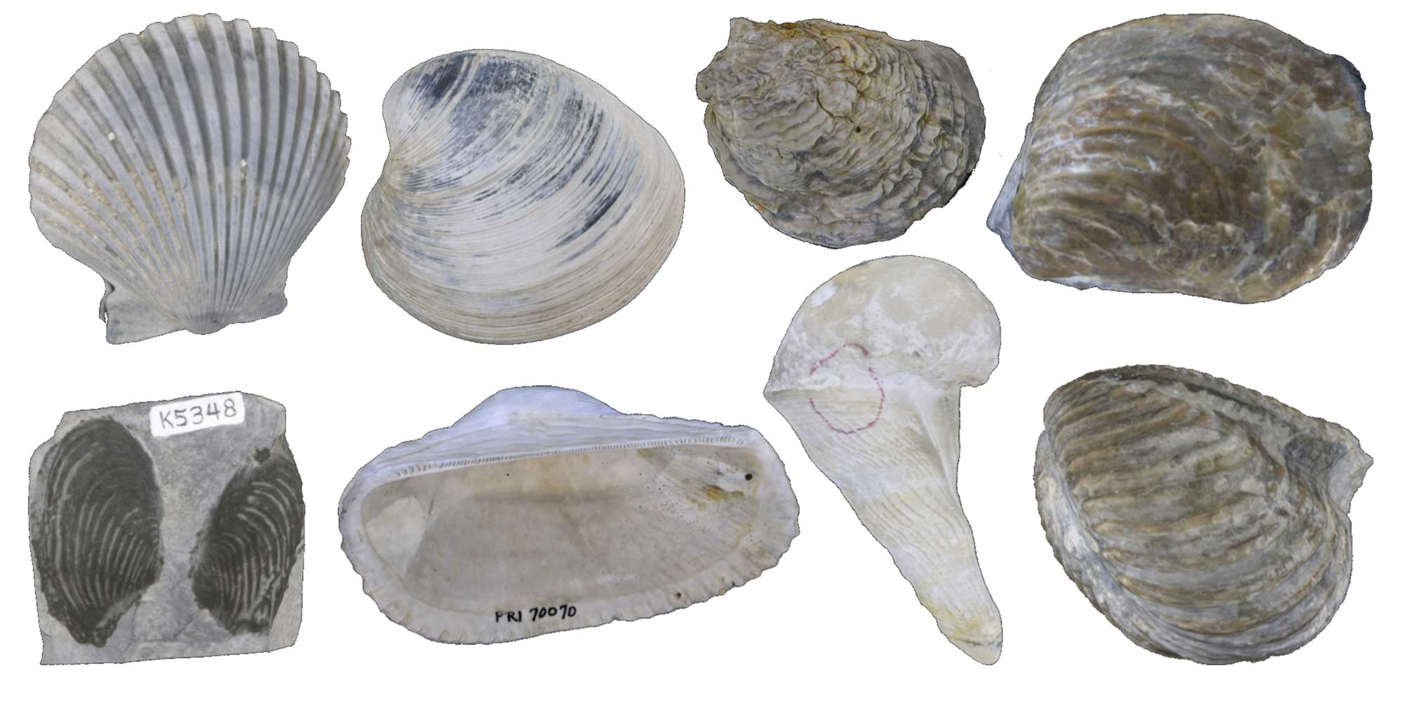 Images of bivalve fossils.