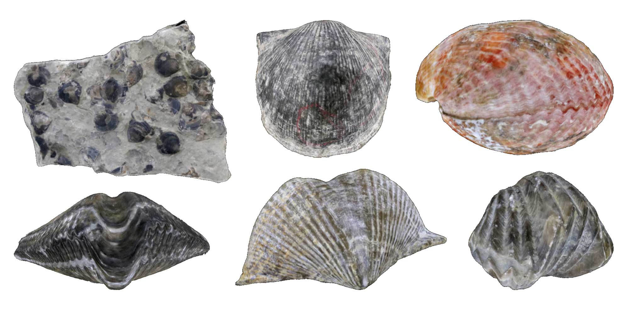 Images of fossil and modern brachiopods.