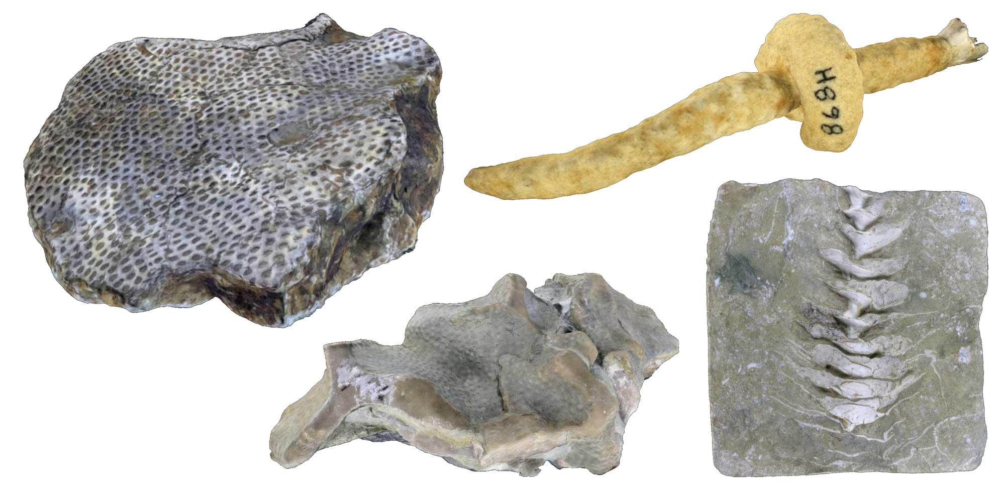 Images of bryozoans.