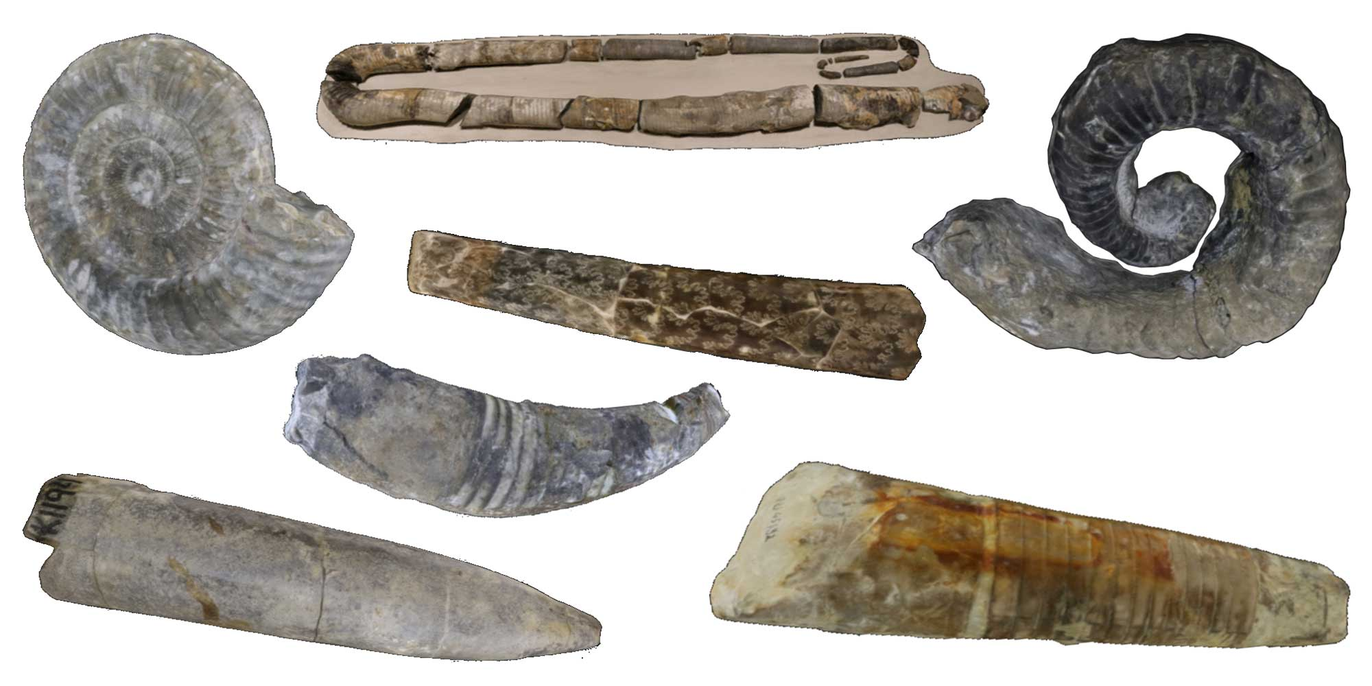 Images of cephalopod fossils.
