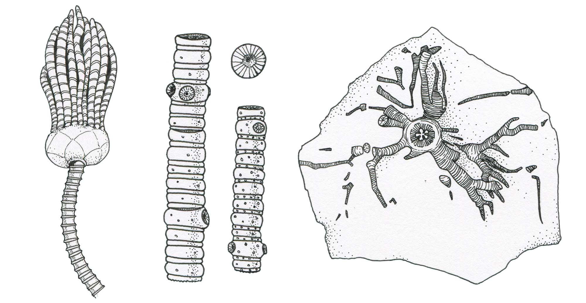 Drawings of the parts of crinoids.
