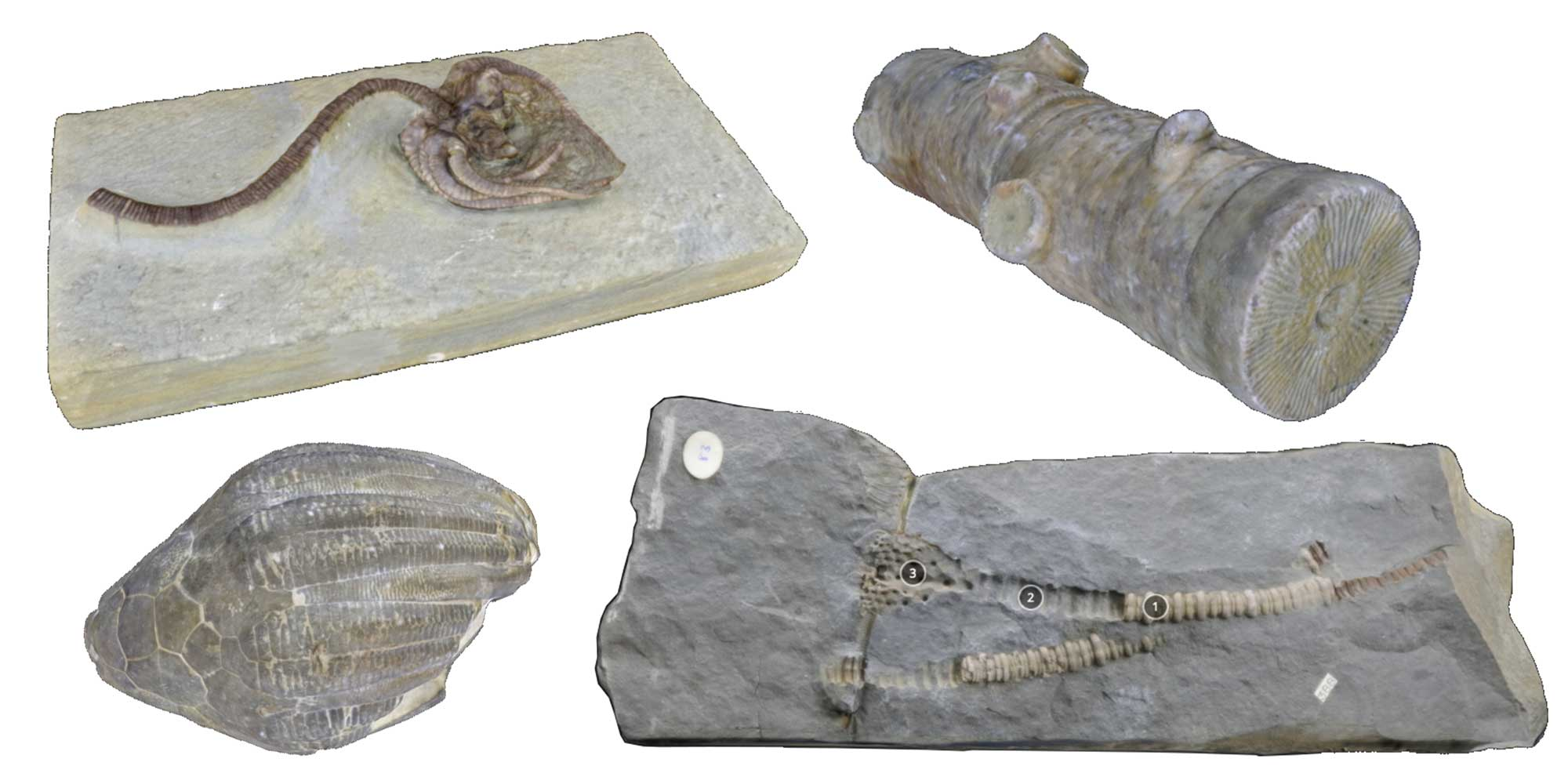 Images of crinoid fossils.