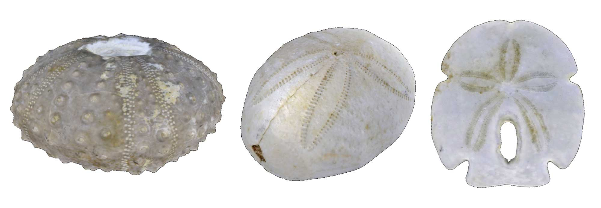 Images of echinoid fossils.
