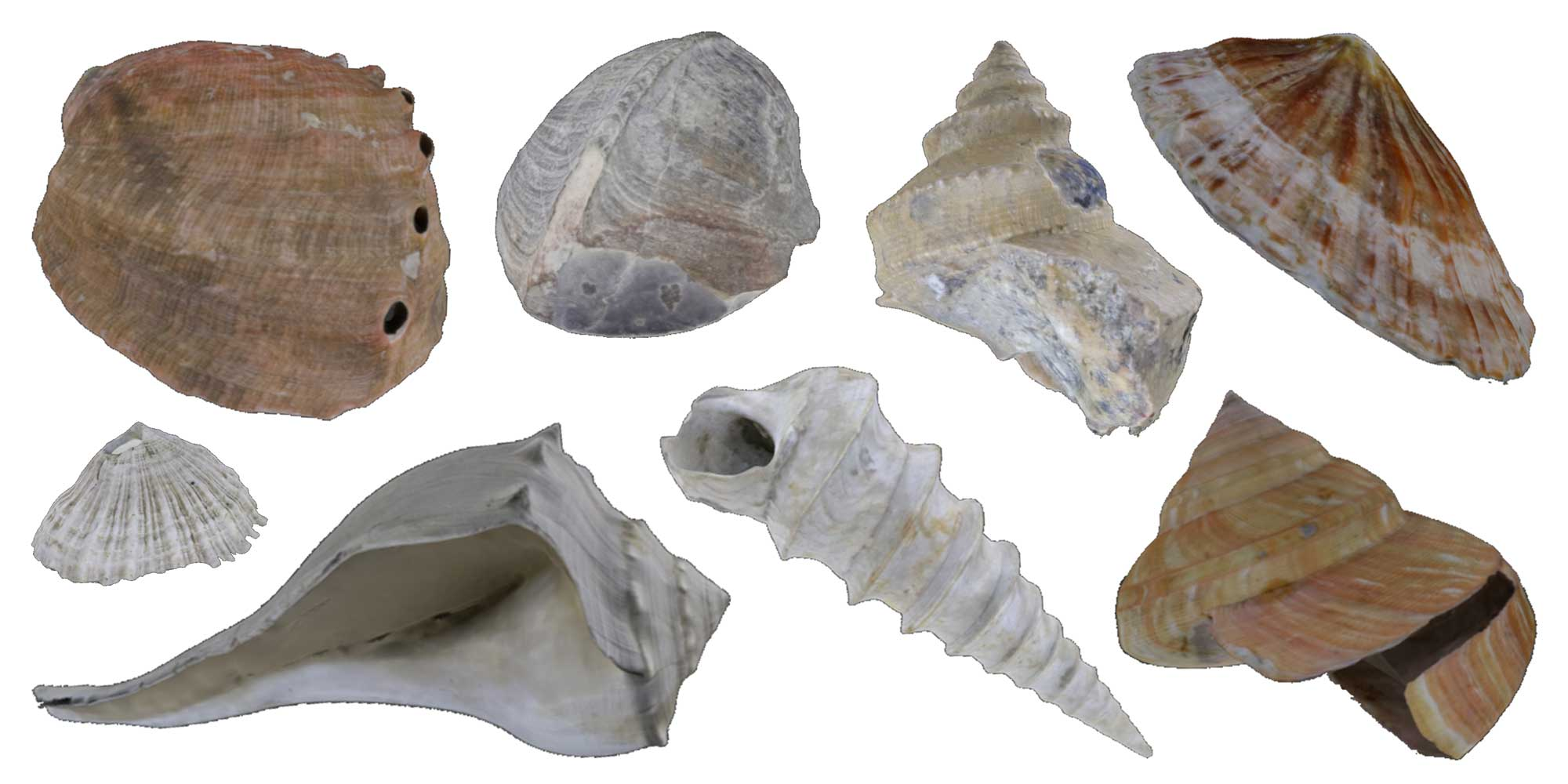 Images of fossil and modern gastropods.