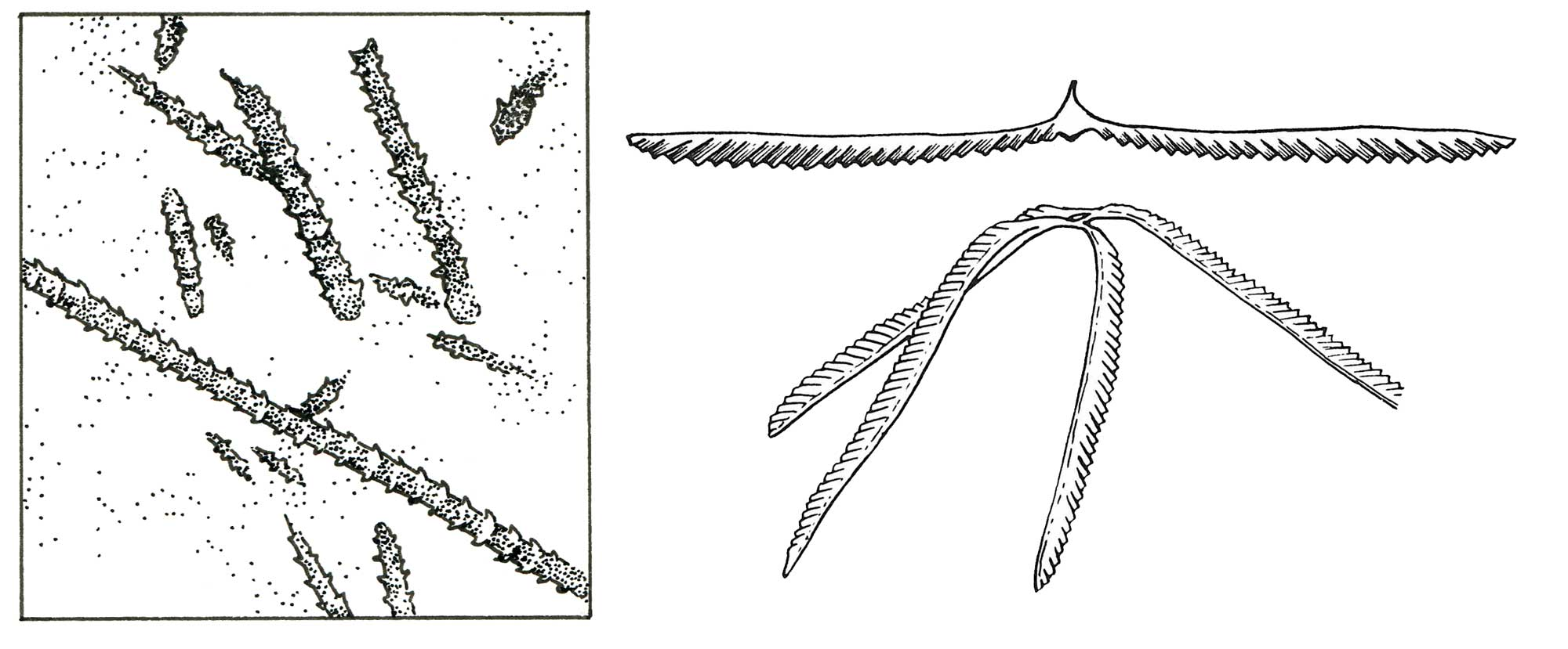 Drawings of graptolites.