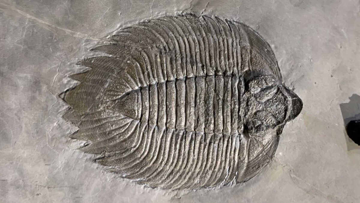 Photograph of a trilobite fossil.
