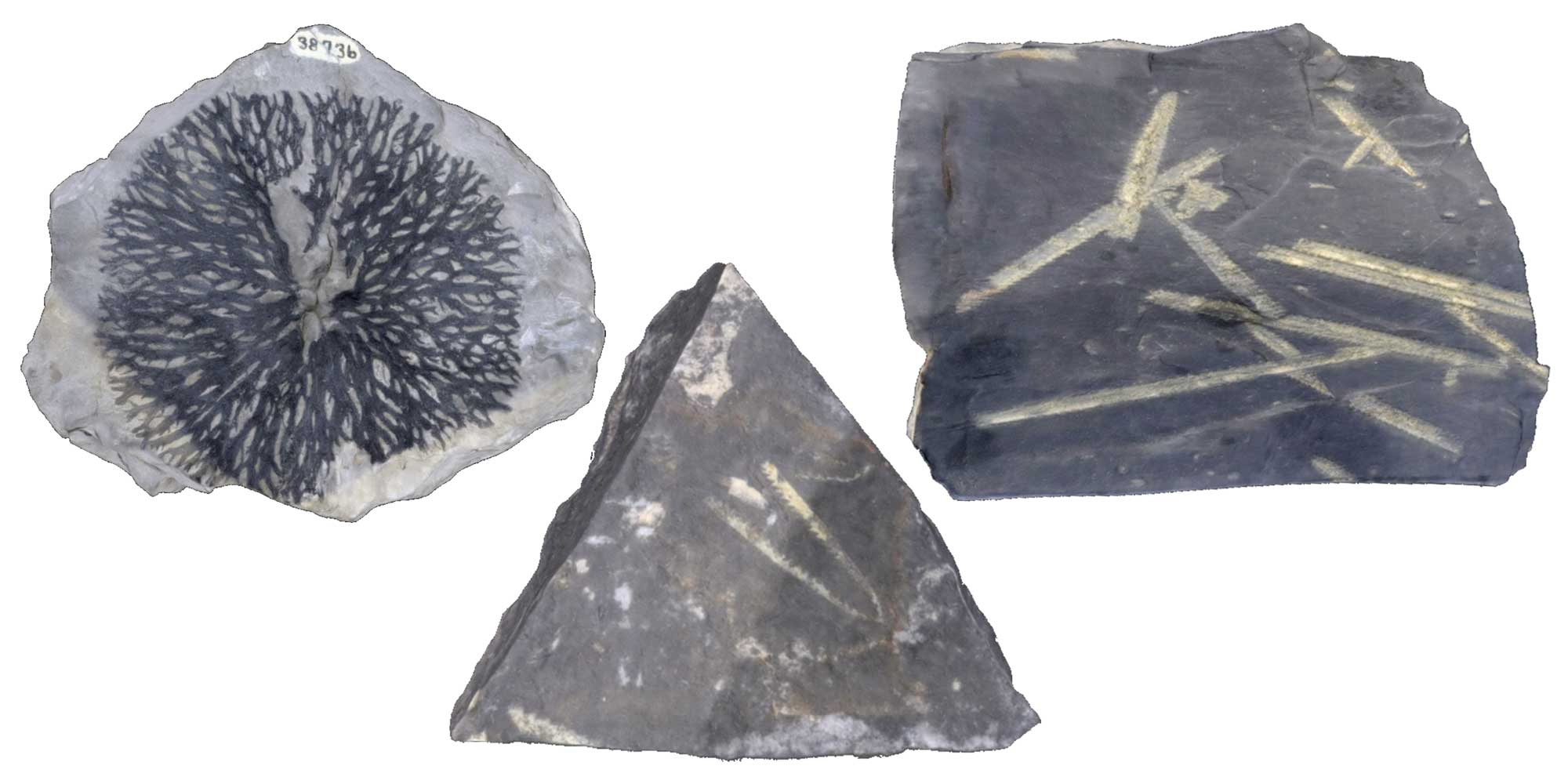 Images of three different graptolite fossils.