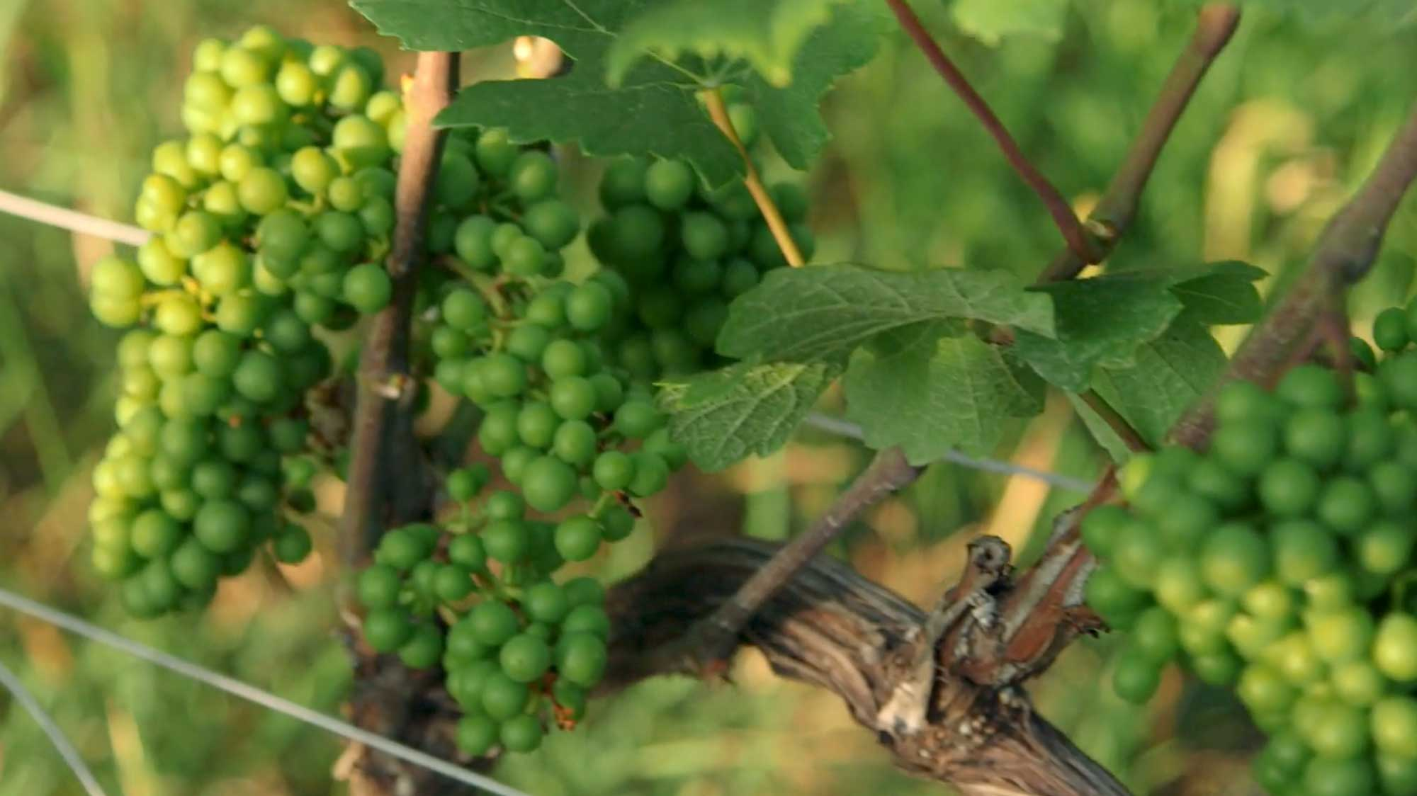 Photograph of green grapes growing on a vine.