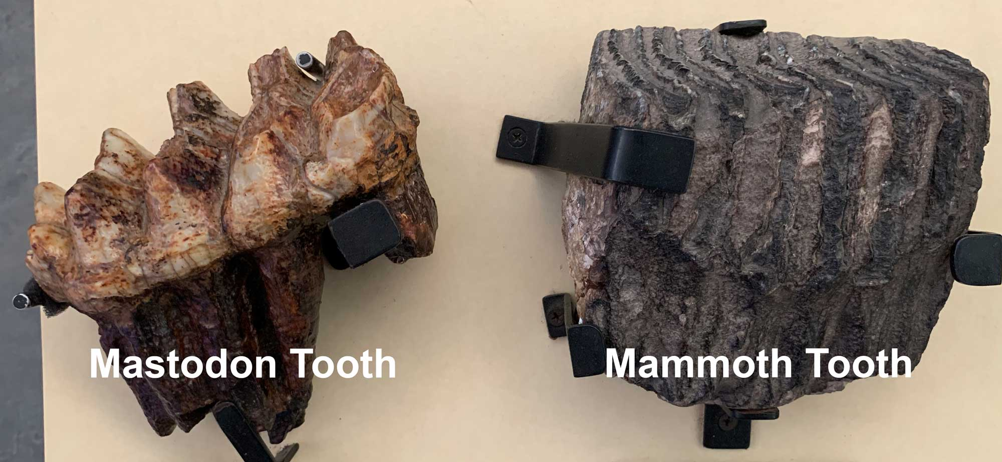 Photograph showing examples of mastodon and mammoth teeth.