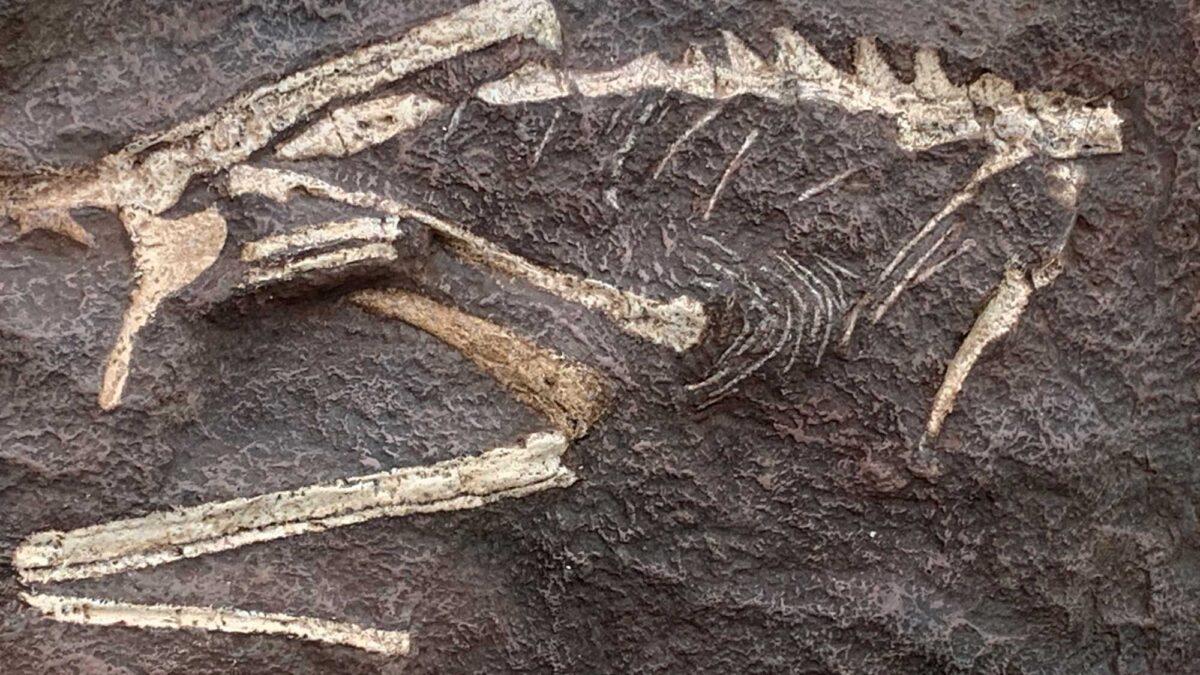 Photograph of the cast of the dinosaur Podokesaurus.